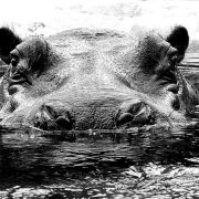 USPs: Free purple Hippos for all new customers